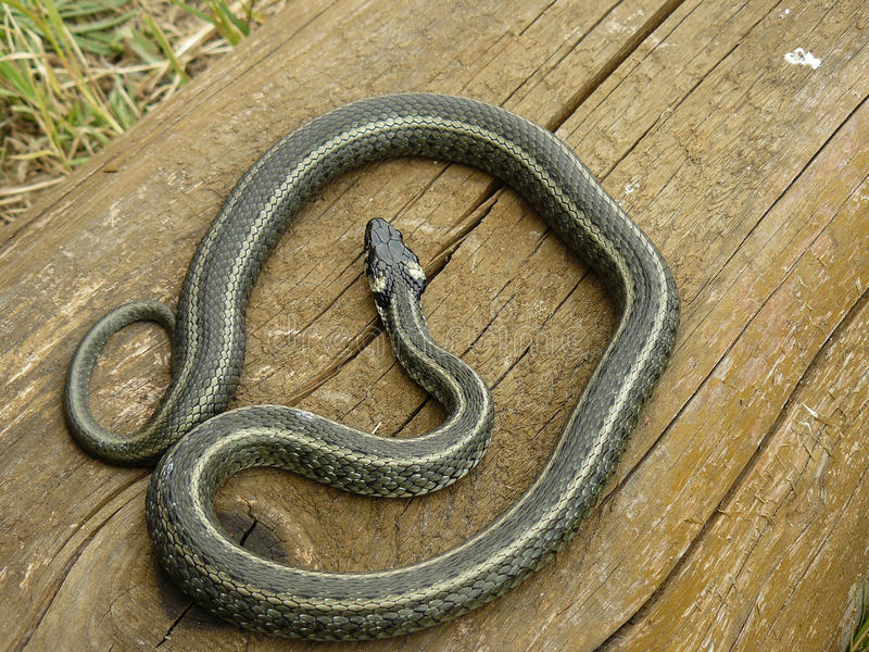 Download Striped Grass Snake Stock Photo - Image: 29001950