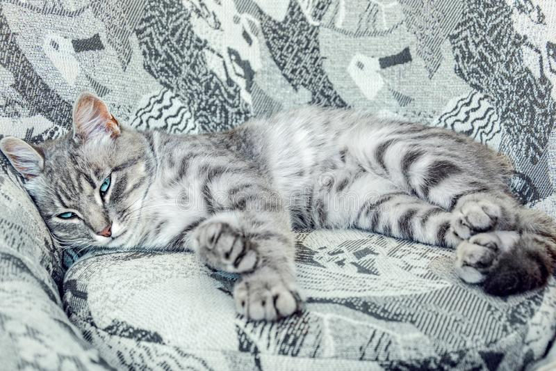 The striped gray cat with blue eyes lying on the chair of similar colors. Master of disguise stock photo