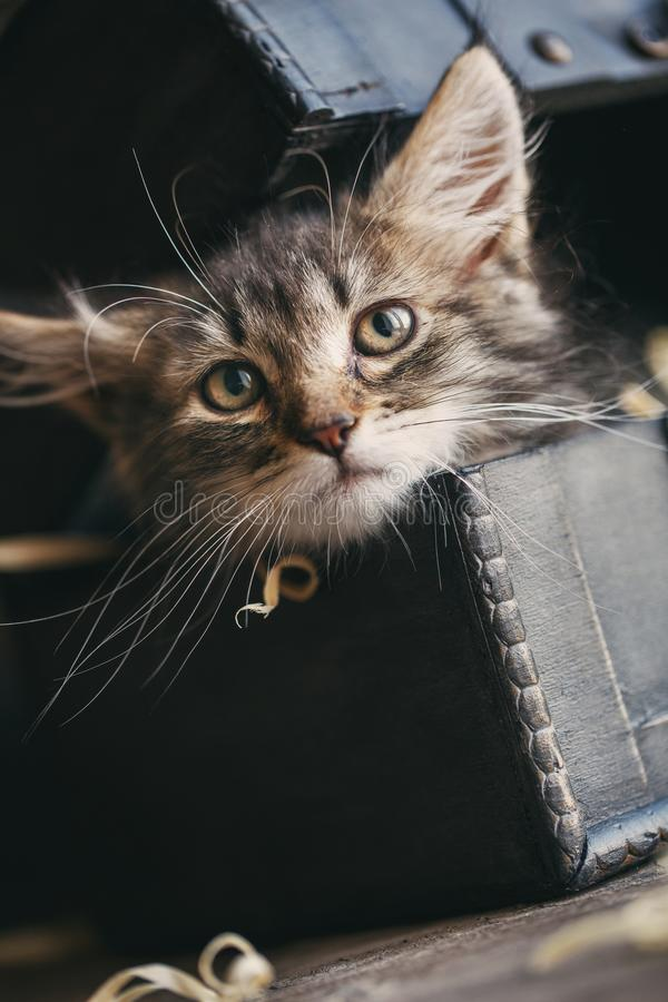 A striped kitten pulled her head out of the chest royalty free stock photos