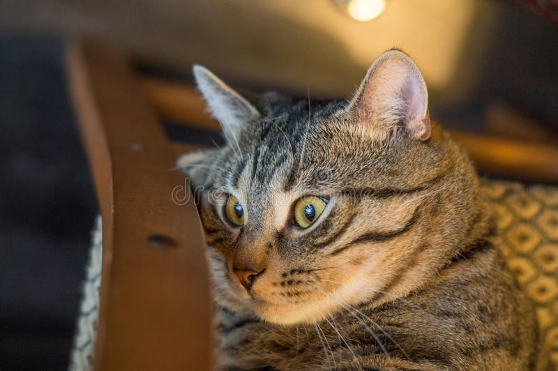 Striped grey cat royalty free stock image
