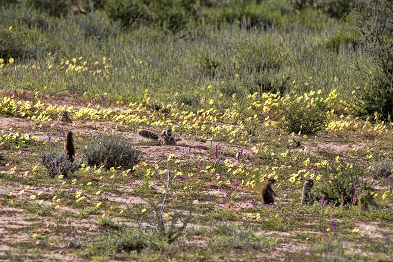 Striped Ground Squirrel family, Xerus erythropus on the blooming desert of Kalahari, South Africa. The Striped Ground Squirrel family, Xerus erythropus on the royalty free stock image