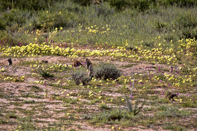Striped Ground Squirrel family, Xerus erythropus on the blooming desert of Kalahari, South Africa. The Striped Ground Squirrel family, Xerus erythropus on the royalty free stock images
