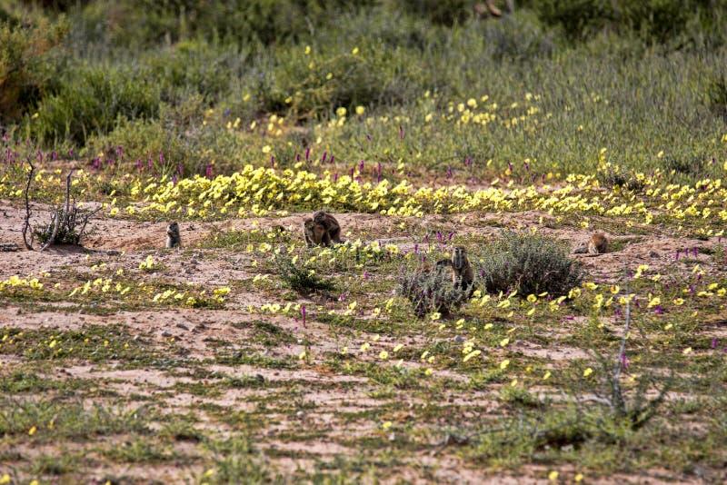Striped Ground Squirrel family, Xerus erythropus on the blooming desert of Kalahari, South Africa. The Striped Ground Squirrel family, Xerus erythropus on the stock photo
