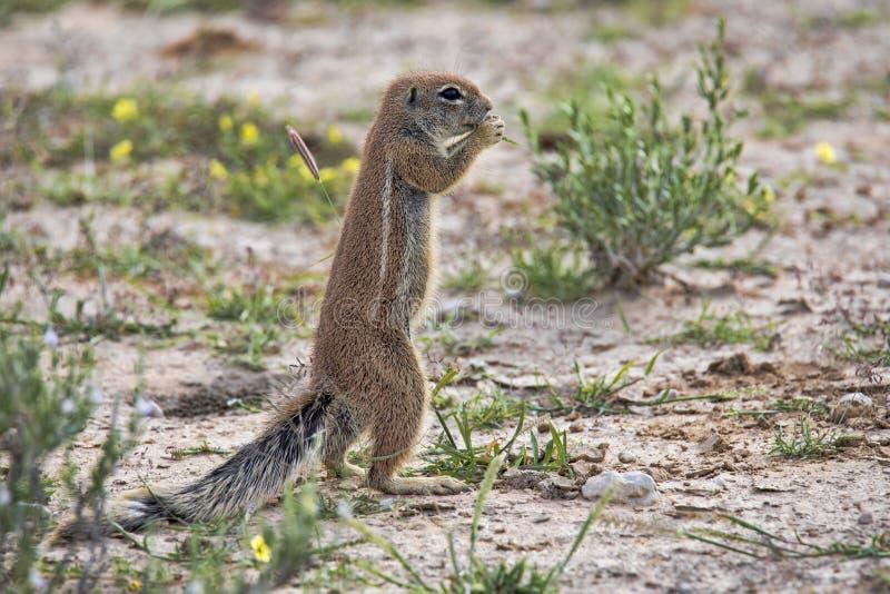Striped Ground Squirrel, Xerus erythropus on the blooming desert of Kalahari, South Africa stock image