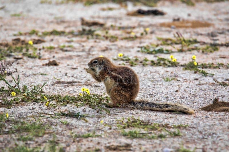 Striped Ground Squirrel, Xerus erythropus on the blooming desert of Kalahari, South Africa. The Striped Ground Squirrel, Xerus erythropus on the blooming desert stock photography