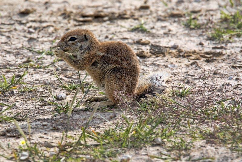 Striped Ground Squirrel, Xerus erythropus on the blooming desert of Kalahari, South Africa. The Striped Ground Squirrel, Xerus erythropus on the blooming desert stock photo