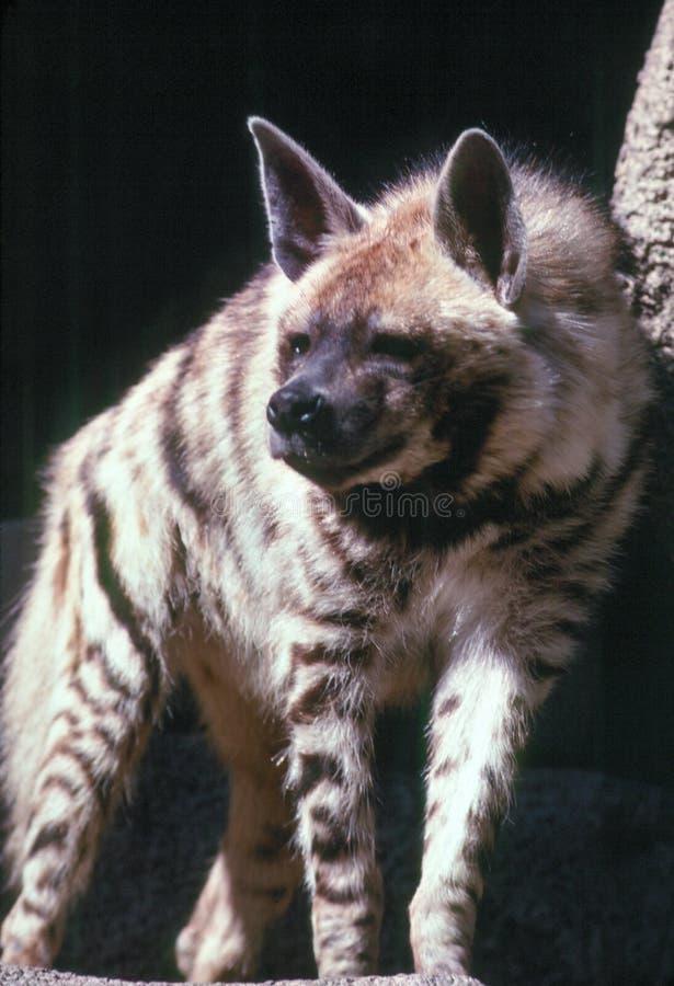 Free Striped Hyena Royalty Free Stock Photography - 915407