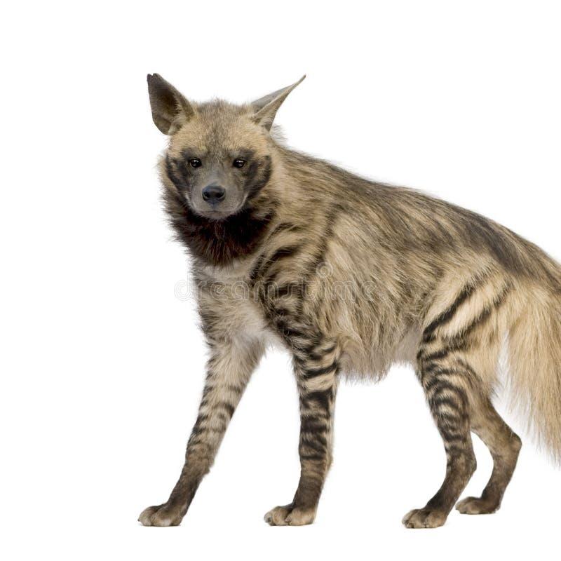 Download Striped hyena hyaena стоковое фото. изображение насчитывающей тварь - 6851464