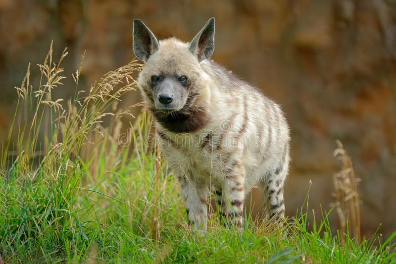 Striped hyena, Hyaena hyaena, native to North and East Africa. Animal in the nature habitat. Hyena in the grass, Kenya, Africa. royalty free stock image