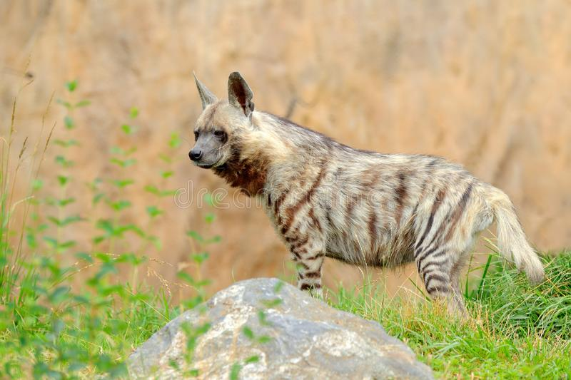 Striped hyena, Hyaena hyaena, native to North and East Africa. Animal in the nature habitat. Hyena in the grass, Kenya, Africa. stock image