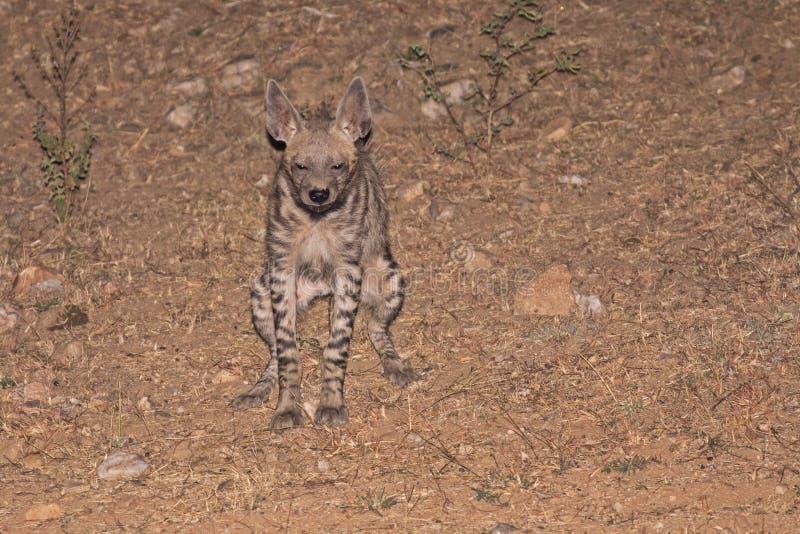 Striped Hyena Peeing royalty free stock photo