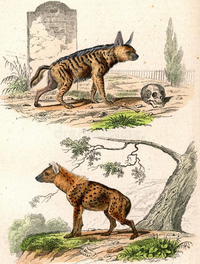 The Striped Hyena, The Spotted Hyena, vintage engraving stock illustration