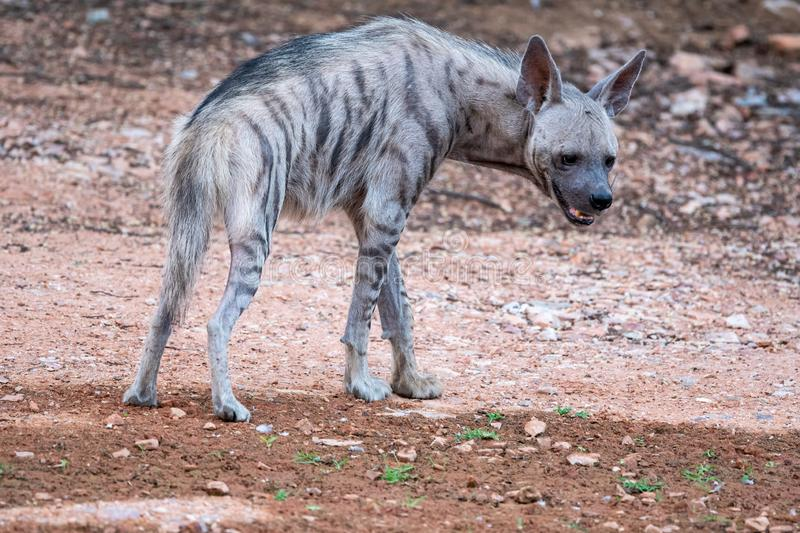 Striped Hyenas hyaena hyaena have excellent senses of vision, hearing and smell spotted this at evening safari at ranthambore. Striped Hyenas hyaena hyaena have royalty free stock photography