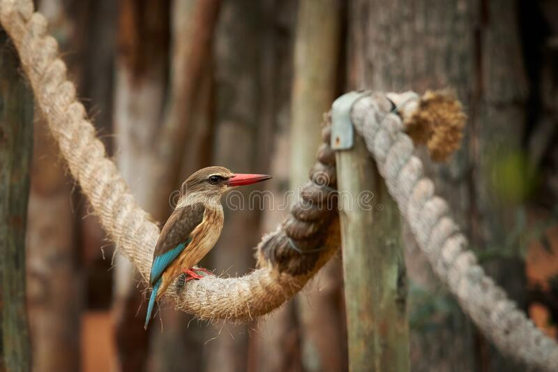 Striped kingfisher Halcyon chelicuti perching on old rope and looking for insects. Very colorful evening light. Blurred trees in. Background royalty free stock photography
