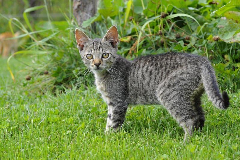 Download Striped kitten stock photo. Image of darling, black, playful - 26596986