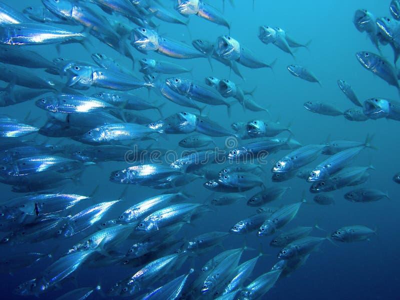 Striped Mackerel. A school of striped Mackerel feeding in the Red Sea, Egypt