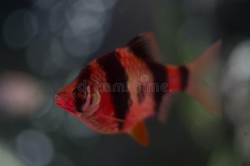 Mahseer aquarium fish close up royalty free stock photo