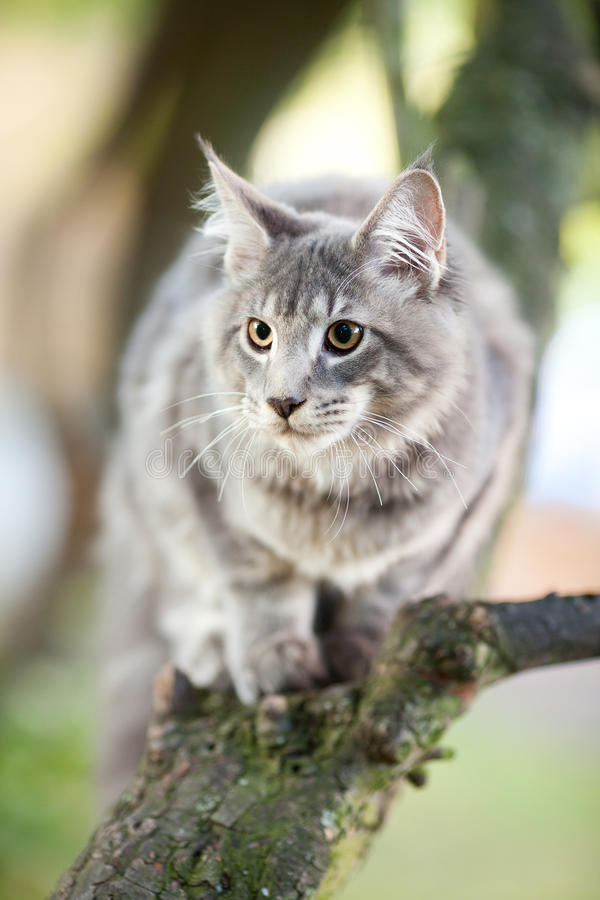 Download Striped Maine Coon Cat In Nature Stock Image - Image: 21529773
