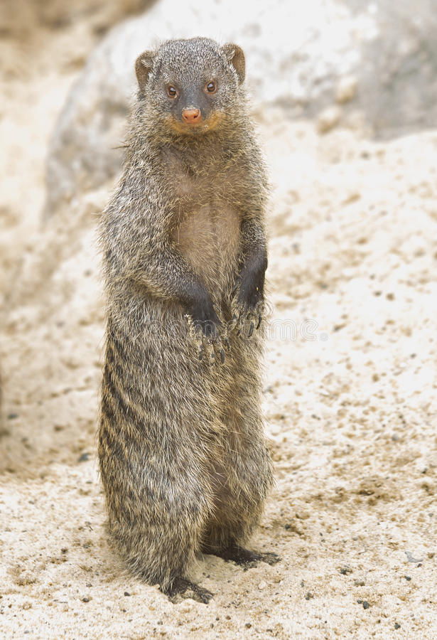 Striped mongoose (Banded mongoose). The banded mongoose — a predatory mammal. It's the daytime. Live in the savannas and open forests of Eastern, southern stock image