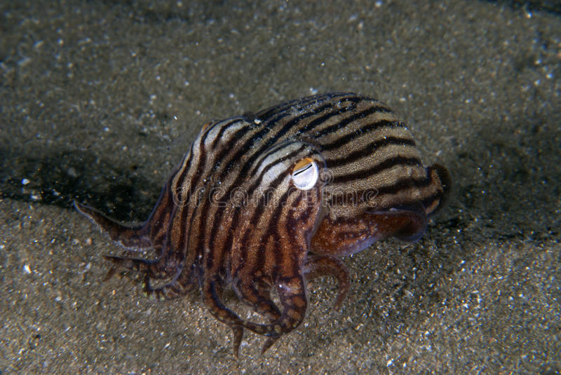 Download Striped pajama squid stock photo. Image of bobtail, tail - 26716442