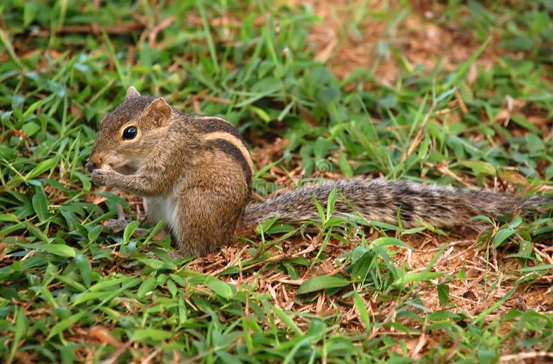 Download Striped Palm Squirrel stock photo. Image of palm, squirrel - 24318138