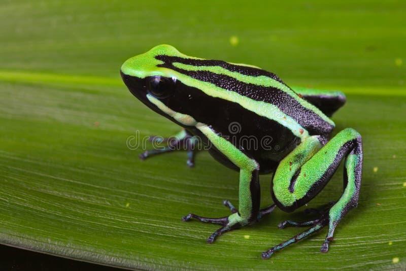 Striped poison dart frog royalty free stock photo