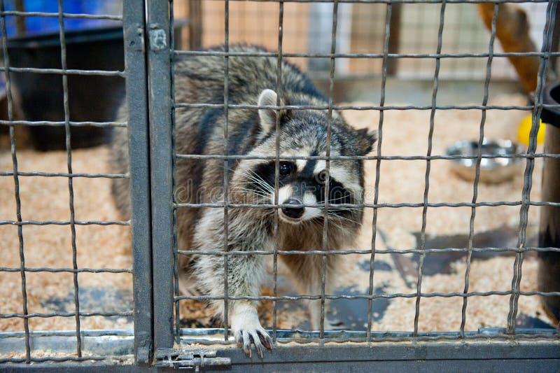 Bandit the Raccoon – Free Crochet Pattern – Drunken Aunt Wendy | 532x800