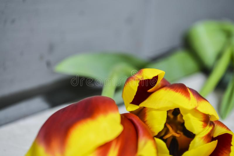 Striped red-yellow tulips lie on a gray table. Flowers of spring. The place for an inscription. Background. stock photos