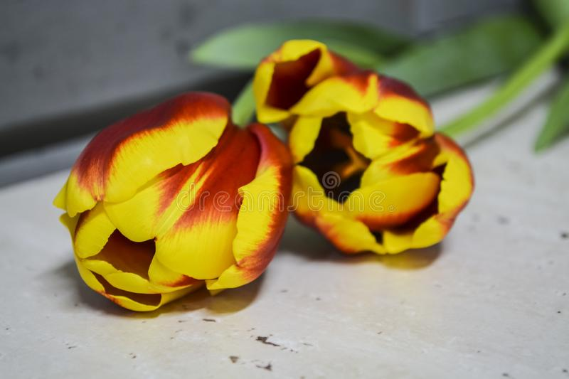 Striped red-yellow tulips lie on a gray table. Flowers of spring. The place for an inscription. Background. royalty free stock images