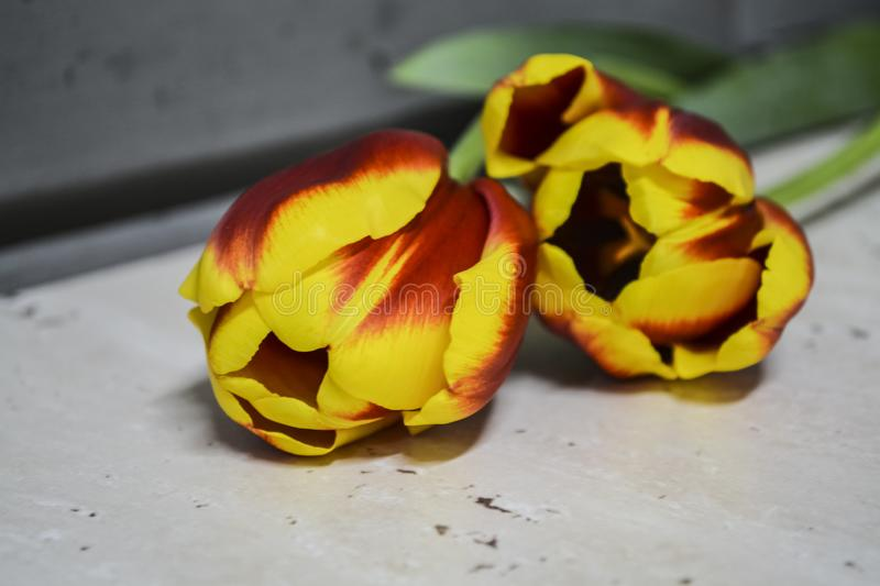 Striped red-yellow tulips lie on a gray table. Flowers of spring. The place for an inscription. Background. royalty free stock image
