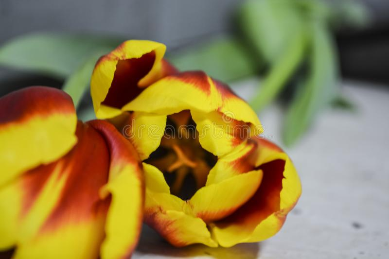 Striped red-yellow tulips lie on a gray table. Flowers of spring. The place for an inscription. Background. stock photo