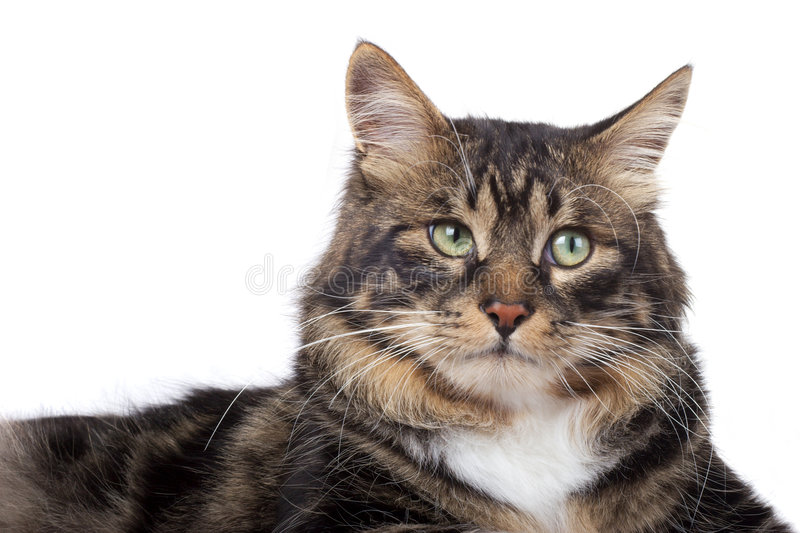 Striped siberian cat. Striped cat on a white background. Isolated royalty free stock photo