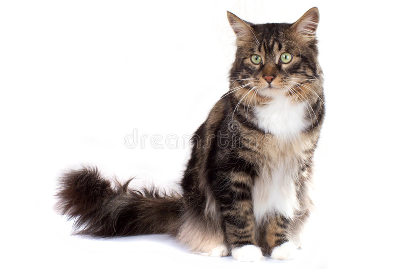 Striped siberian cat. Striped cat on a white background. Isolated stock photos