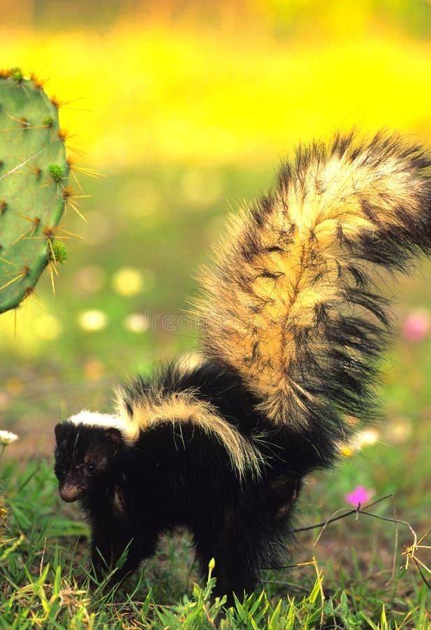 striped skunk стоковые фотографии rf