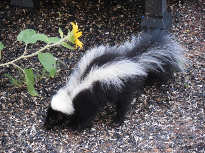 Striped Skunk Backyard Nocturnal Visitor royalty free stock image