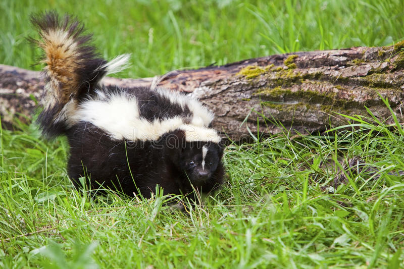 Striped skunk in grass. The skunk moves through the grass and along the log