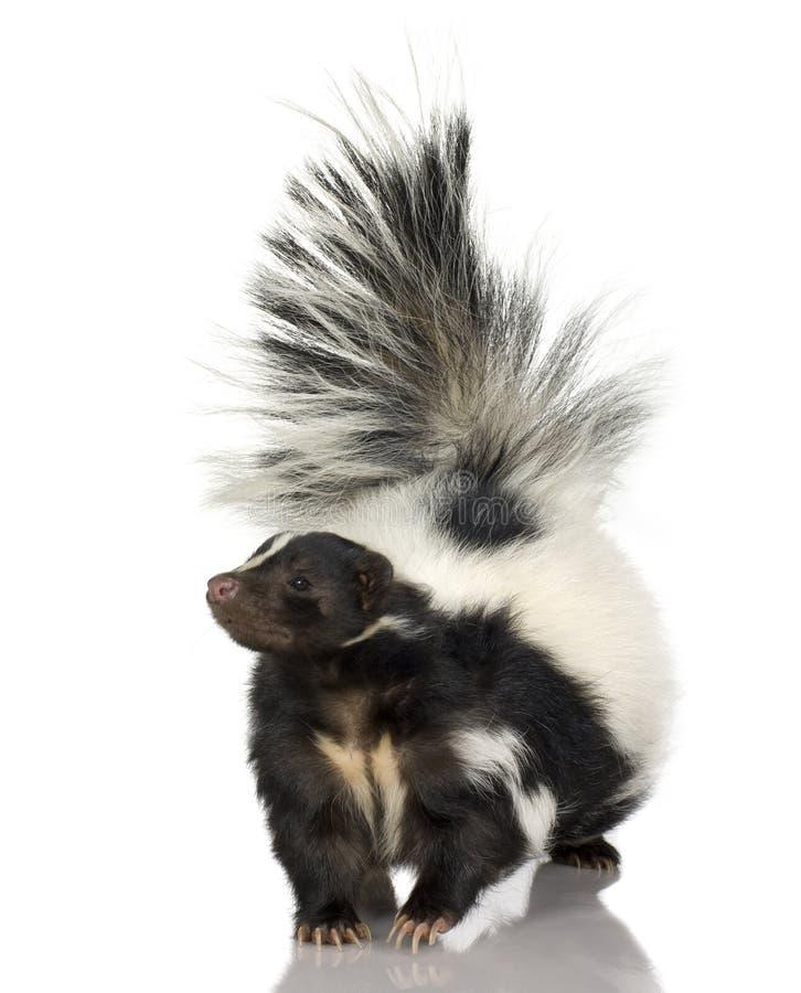 striped skunk mephitis стоковые изображения