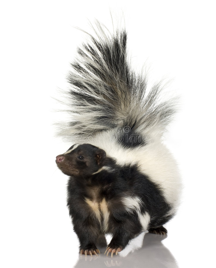 Striped Skunk - Mephitis mephitis stock images
