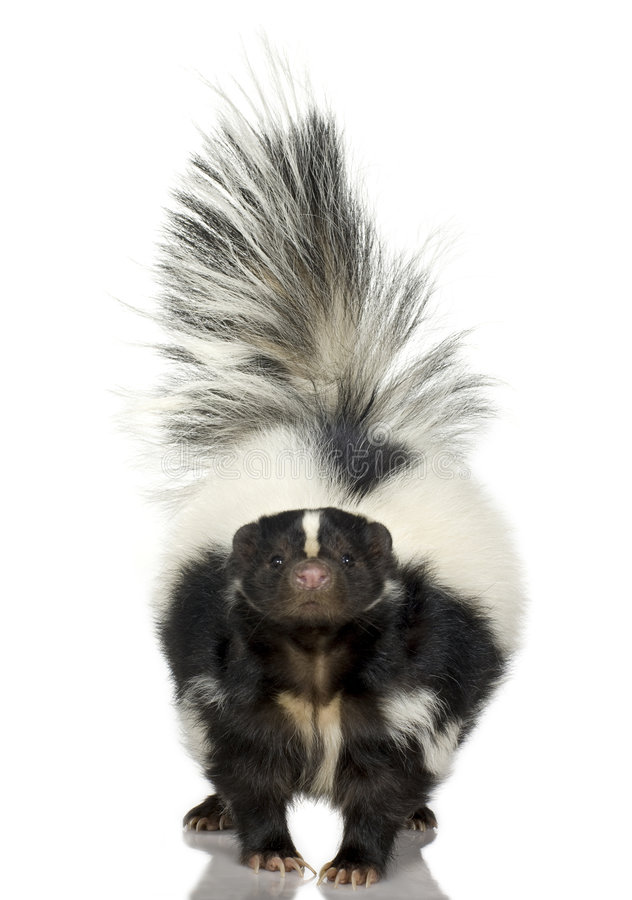 Striped Skunk - Mephitis mephitis stock photography
