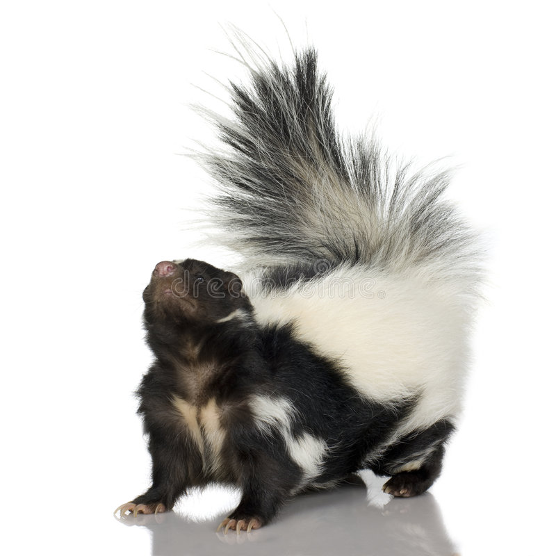 Striped Skunk - Mephitis mephitis stock photo