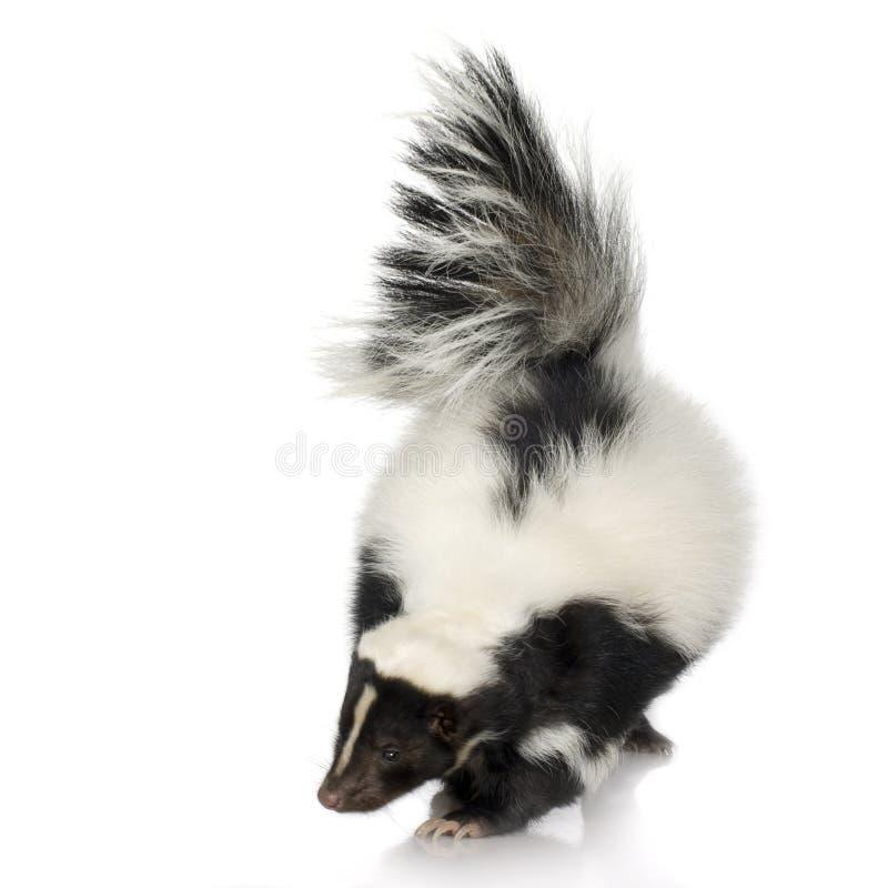 Striped Skunk - Mephitis mephitis royalty free stock photo
