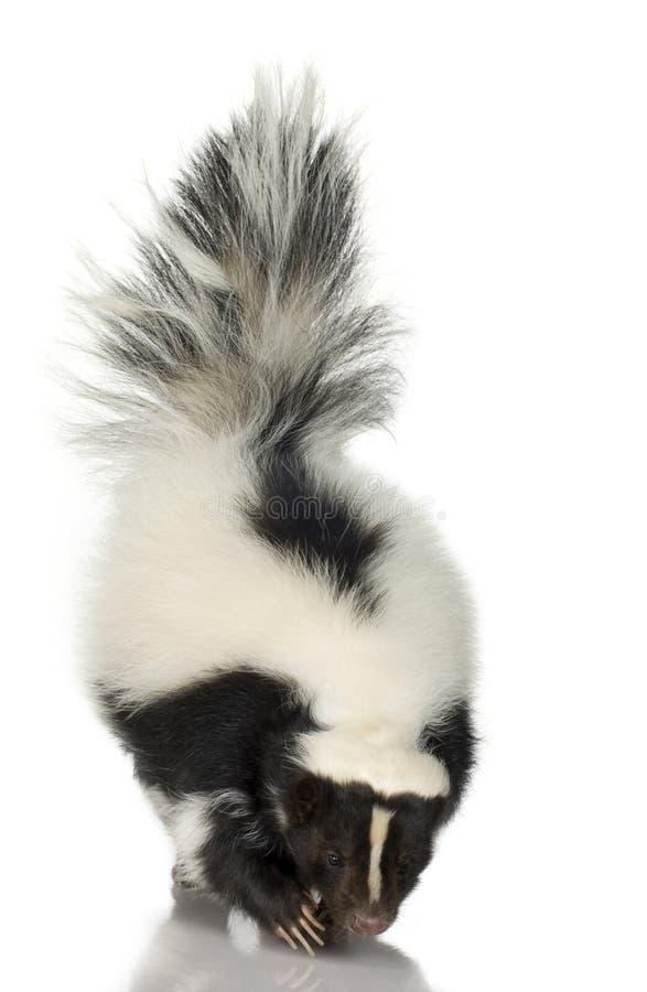 Download Striped Skunk - Mephitis Mephitis Stock Photo - Image: 3687564