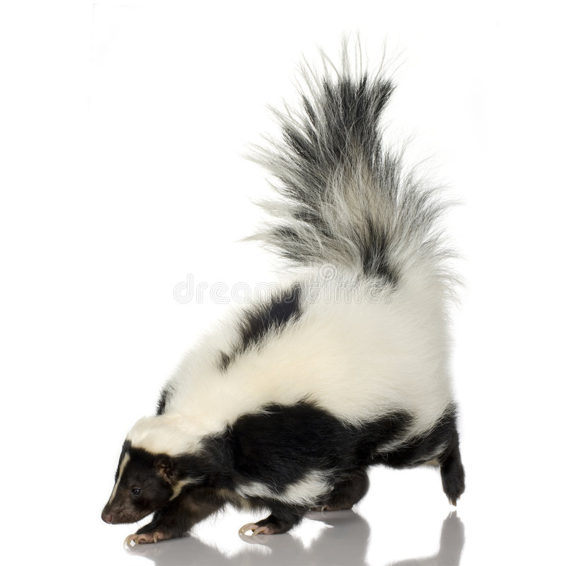 Striped Skunk - Mephitis mephitis royalty free stock image