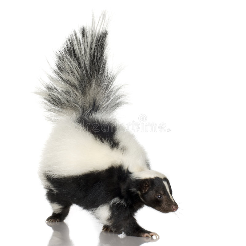 Striped Skunk - Mephitis mephitis stock image