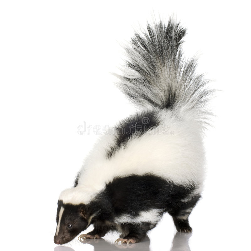 Striped Skunk - Mephitis mephitis royalty free stock photos