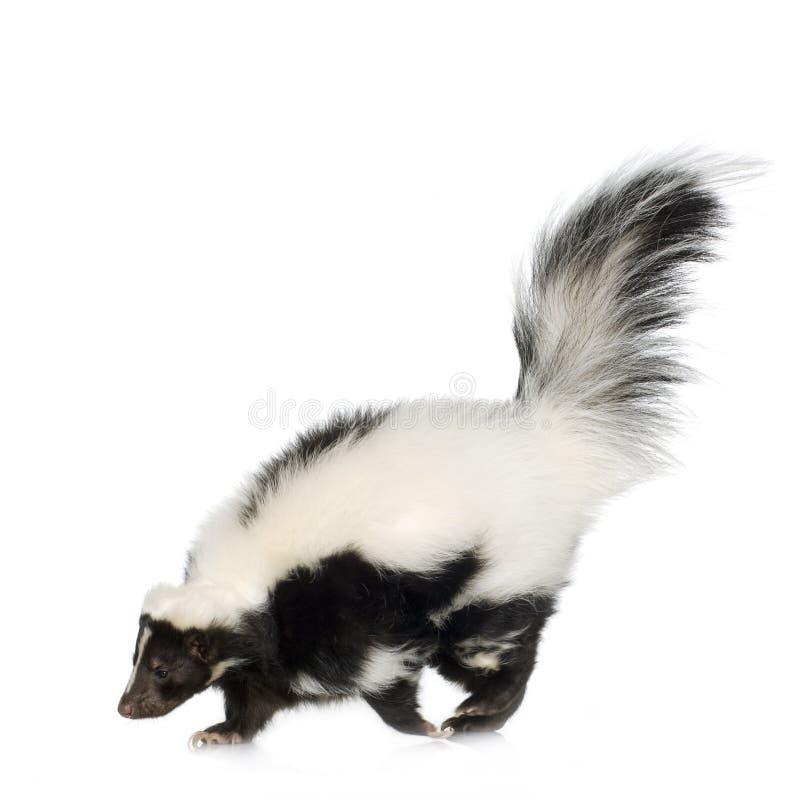 Striped Skunk - Mephitis mephitis royalty free stock photos