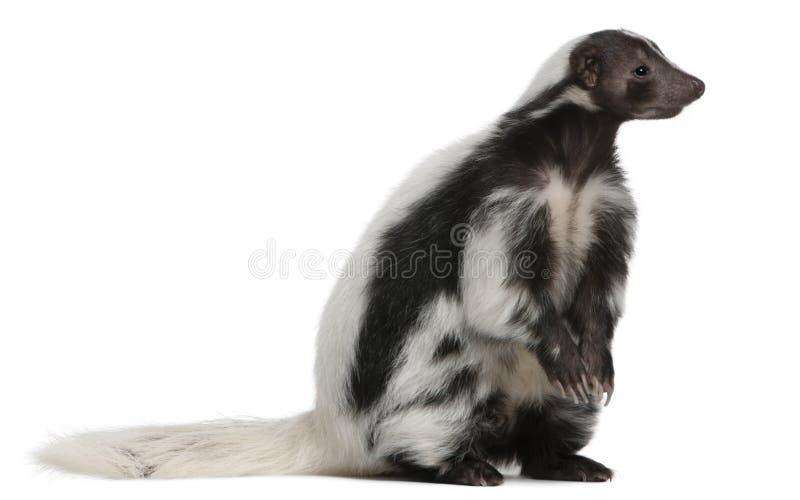 Striped Skunk, Mephitis Mephitis, 5 years old stock image