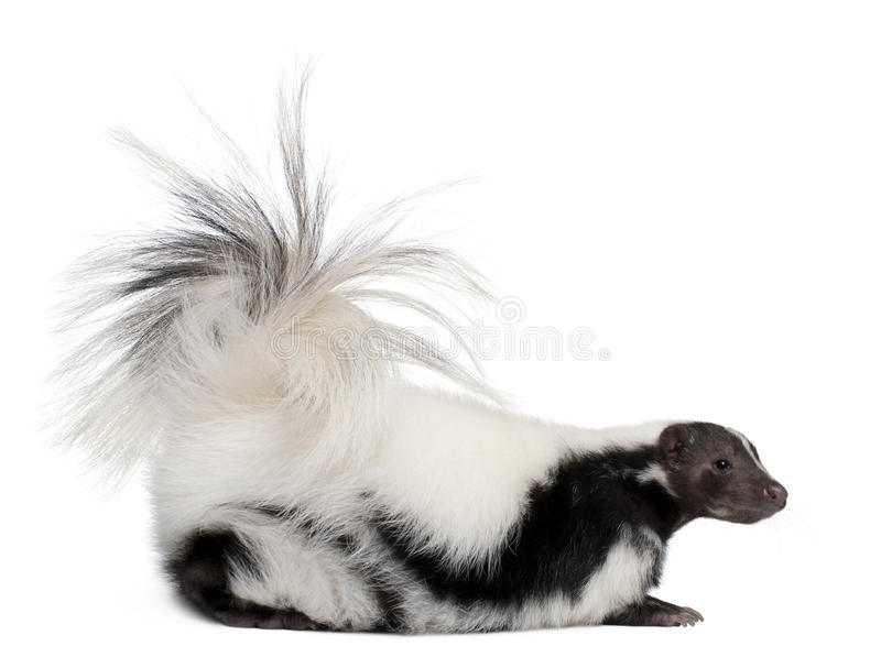 Download Striped Skunk, Mephitis Mephitis, 5 Years Old Stock Image - Image: 16713201