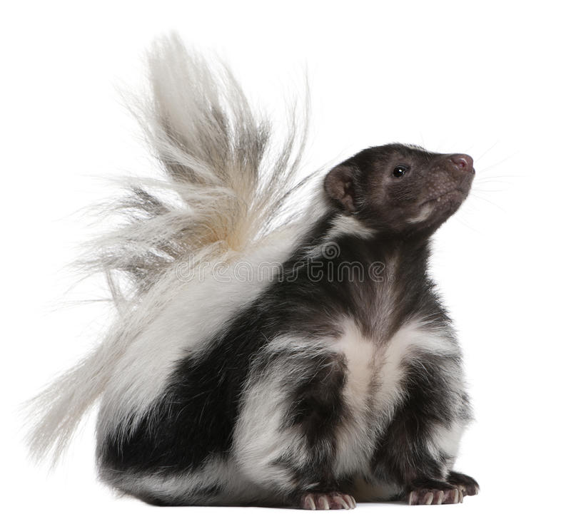 Striped Skunk, Mephitis Mephitis, 5 years old royalty free stock photos