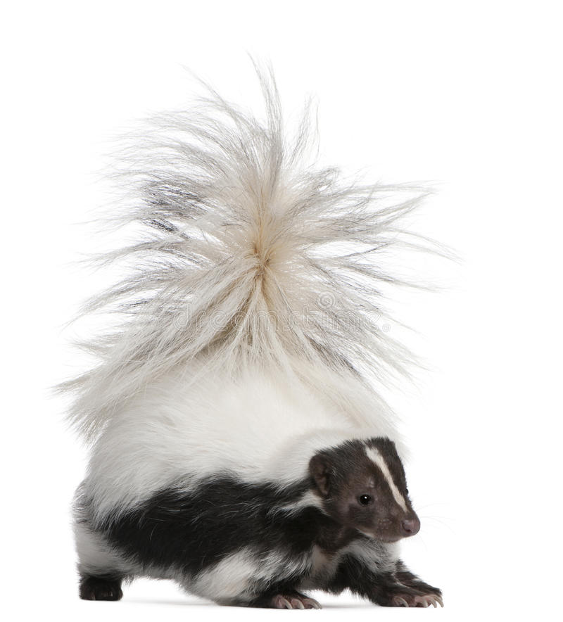 Striped Skunk, Mephitis Mephitis, 5 years old royalty free stock images